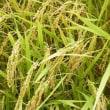 収穫前の実りの稲とキバナコスモス