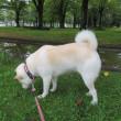 雨に濡れた夏の花たちが咲く公園を愛ちゃんと散歩したよ♪