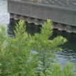 馬込川のアオサギ