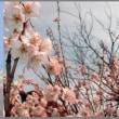 image2516 桜桃の花
