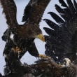 リンクモアの鷹