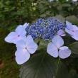 法金剛院 後編 紫陽花