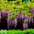 神代植物公園・ボタン・藤の花・ポピー
