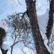 岩岳朴の木平スノーシュー