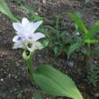 クルクマの小さな花は
