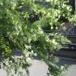 台風一過、白ハギが咲き始めました