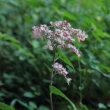 初秋の里山に変わりゆく花々とアサギマダラ蝶を眺めて