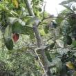 小さな庭の柿