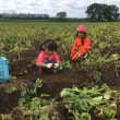 ジャガイモ掘り