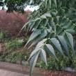 センダンの特徴ある葉っぱ