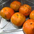 台風の前に(その1)太秋柿の収穫