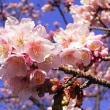 季節の花「寒桜」
