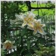 7月猛暑の中で、庭花。