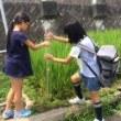 稲の花が咲いたよ 夏も残り19日