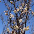 近江富士花緑公園の梅