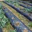 ソラマメの収穫残り1回分のみに 本日の畑
