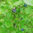 ブルーベリー収穫体験☆