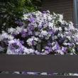 番茉莉(まつりか)の花