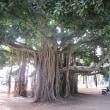 ハワイ~バニヤンの木