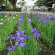 県立相模原公園の菖蒲(2018.06.09)