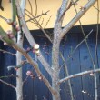 ネコヤナギです 春ですね