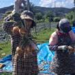 6月12日(火)玉葱の収穫とサツマイモの定植