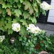 紫陽花の花・・・・・