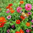 百日草の花にツマグロヒョウモン