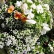 〈花〉ヤグルマギク開花