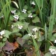 ドクダミの花