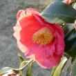 冬の散歩道に咲く椿の花