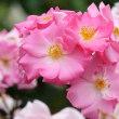 2018 春 ピンクの薔薇・カウンター・フェア