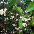 温州ミカンと夏みかんの花