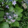 紫陽花の剪定