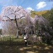 23日の散歩 ( 御所往復で桜だより )