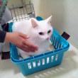 10月16日(火)のつぶやき ミルコ @mirko_cat をお迎えに行ったら、「お前、今頃来たニャか?」みたいな顔されたww #白猫 #ミルコ #cat