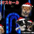 かわいらしい生後52日目◆柴犬◆オス◆入舎