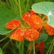 庭の花(ナスタチウム)