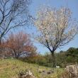 エヒメアヤメの帯隈山と日の隈山で見た小鳥アオジ