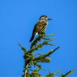 18/Aug 奥庭自然公園の鳥とコケモモ