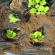 ミニハクサイ植え付けました。