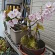 鉢植えの桜、満開!昨日から気温が低くなってきましたので、数日持ちそう・・・
