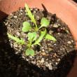冬の野菜水菜は収穫できるか?