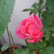 ステファニードモナコ(二番花)が咲いていますが、