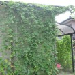 我が家の緑のカーテン