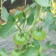 トマトの整枝