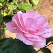 錦江湾公園のバラ