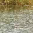 モエレのカンムリカイツブリ 10/18 雨の中で見つけたのは・・・