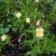 5月26日の花