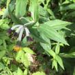 今日の栂池自然園の花   チョウジギク